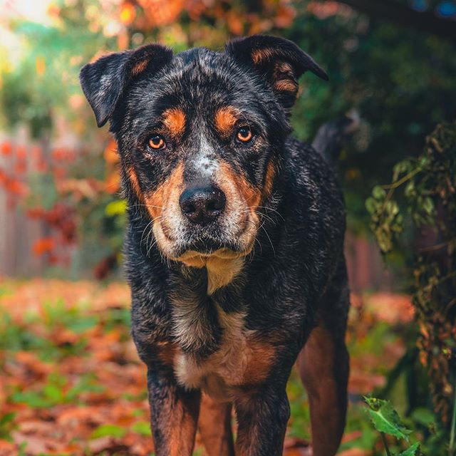 When bae gives you those eyes 💛 . . . . . . . #huffpostgram #dailybarker #realsimple #instagrambham #exklusive_shot #ruffpost #weeklyfluff #thisisalabama #gardenandgun #thestatelyhound #lifeofadventure #mydogiscutest #doglife #sendadogphoto #worldofcutepets #nikonnofilter #dogscorner #buzzfeedanimals #excellent_dogs #bestwoof #nikonlove #topdogphoto #bnw_legit #gramoftheday #vol #aov #visualshotz #ynotoutdoors #thegreatoutdogs #mysouthernliving