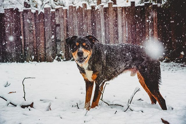 """Y'all. At least 4"""" of snow has fallen here in Alabama. This is crazy!!! The badger is pretty happy about all the white stuff too. Glad we're actually getting to enjoy a real snow day. ❄️💙 . . . . . . . #huffpostgram #dailybarker #realsimple #instagrambham #exklusive_shot #snowday #ruffpost #weeklyfluff #thisisalabama #letitsnow #lifeofadventure #mydogiscutest #sendadogphoto #worldofcutepets #nikonnofilter #dogscorner #buzzfeedanimals #excellent_dogs #bestwoof #nikonlove #topdogphoto #bnw_legit #gramoftheday #vol #aov #visualshotz #ynotoutdoors #thegreatoutdogs #mysouthernliving"""
