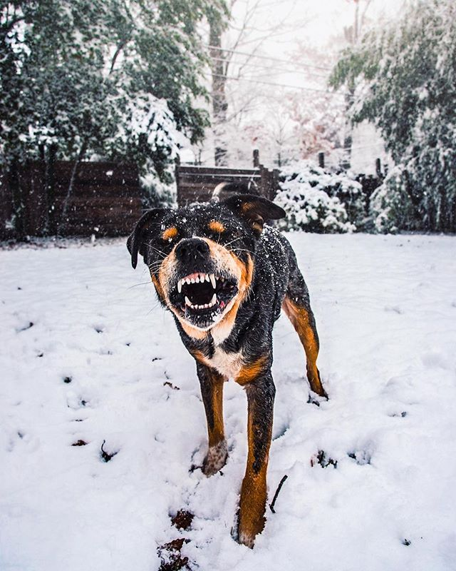 Gotta catch 'em all. ❄️❄️❄️ . . . #huffpostgram #dailybarker #optoutside  #instagrambham #exklusive_shot #snowday #ruffpost #weeklyfluff #thisisalabama #letitsnow #lifeofadventure #mydogiscutest #sendadogphoto #worldofcutepets #nikonnofilter #dogscorner #buzzfeedanimals #excellent_dogs #bestwoof #nikonlove #topdogphoto  #gramoftheday #vol #aov #visualshotz #ynotoutdoors #thegreatoutdogs #mysouthernliving @instagram
