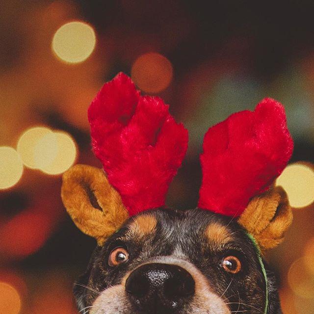 Poppin' in to wish everypawdy a Merry Christmas!!! 🎅🏼🎄🦌 . . . #huffpostgram #dailybarker #realsimple #instagrambham #exklusive_shot #dogsofbham #ruffpost #weeklyfluff #christmas #thisisalabama #happyholidays #thestatelyhound #mydogiscutest #reindeer #sendadogphoto #worldofcutepets #nikonnofilter #buzzfeedanimals #excellent_dogs #bestwoof #nikonlove #topdogphoto #gallery_legit #gramoftheday #vol #aov #visualshotz #alabamaphotographer #mysouthernliving #whpcelebrate @instagram