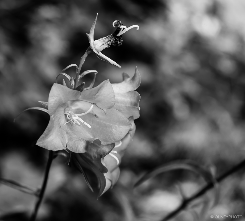 Flower in black and white OLNEY Photographe Sherbrooke