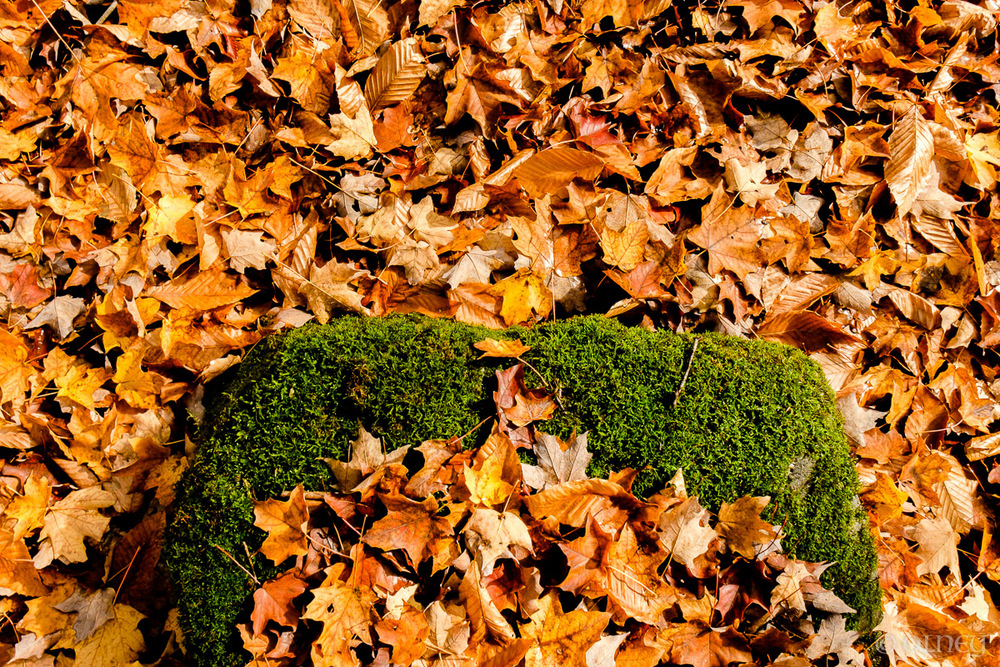 Lit de mousse et de feuilles d'automne au Bois Beckett à Sherbrooke QC OLNEY Photographe