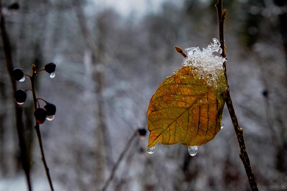 Feuille d'automne qui résiste à l'hiver OLNEY Photographe Sherbrooke