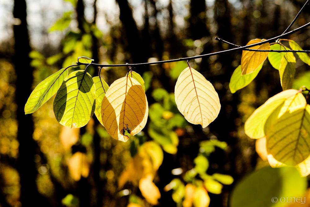 Feuilles d'automne jaunes en transparence olney photographe sherbrooke
