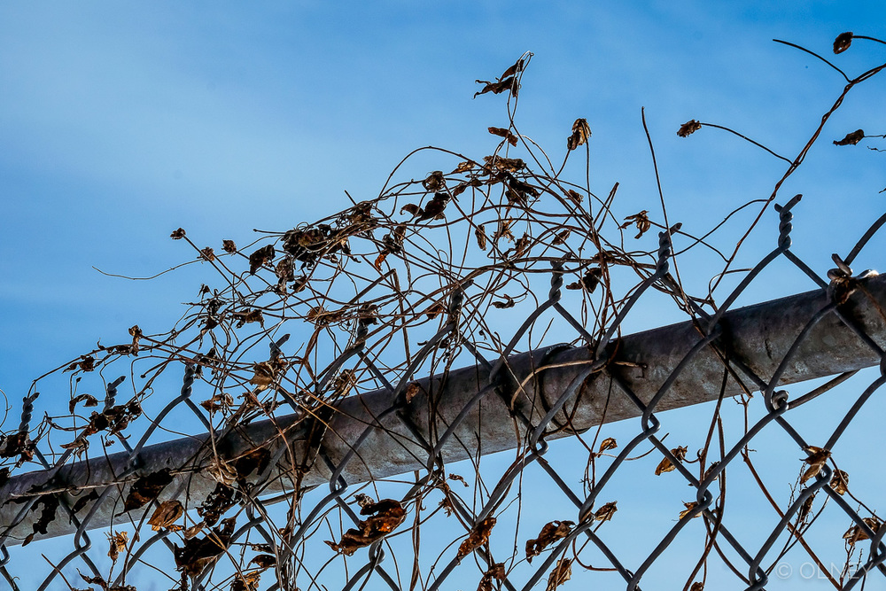 Weed in barbed wire fence olney photographe sherbrooke