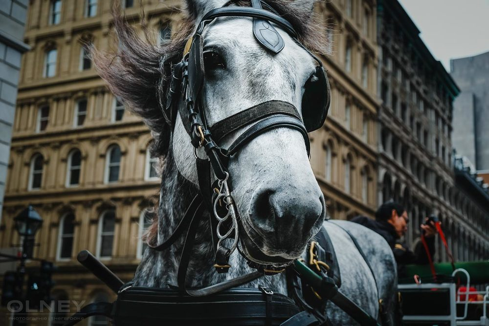 Head of a carriage horse in Montreal