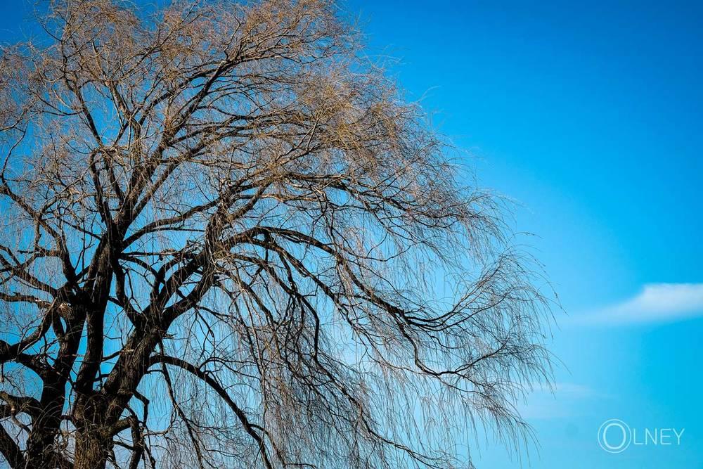 Arbre et bourgeons sur ciel bleu
