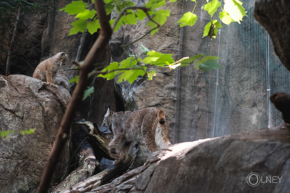 lynx cub waiting for his mother at montreal biodome