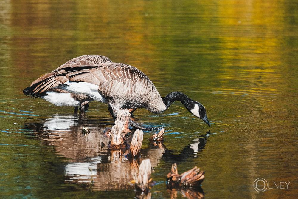reflet de bernache sur l'étang burbank