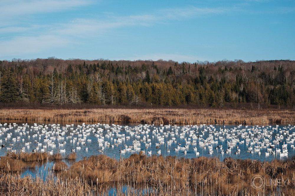 oies blanches au marais duquette en Estrie