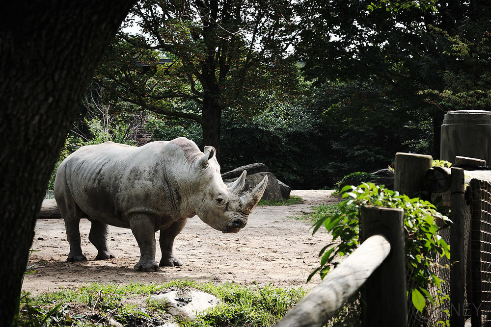 rhino at granby zoo