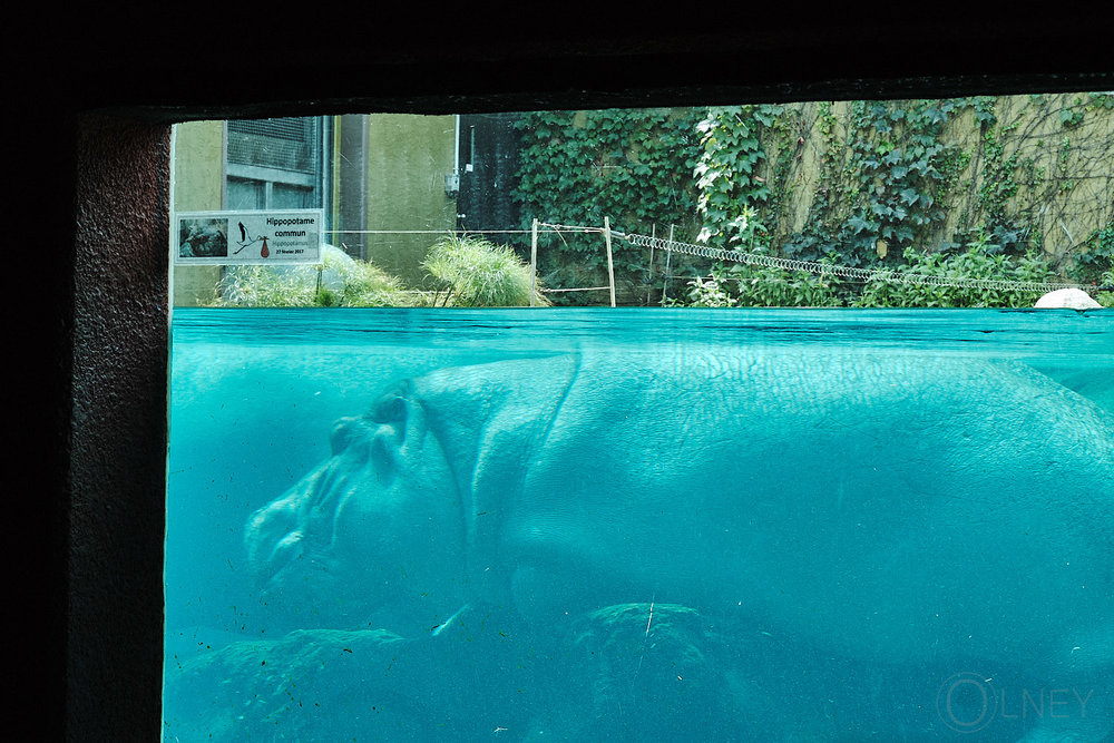 hippo at granby zoo