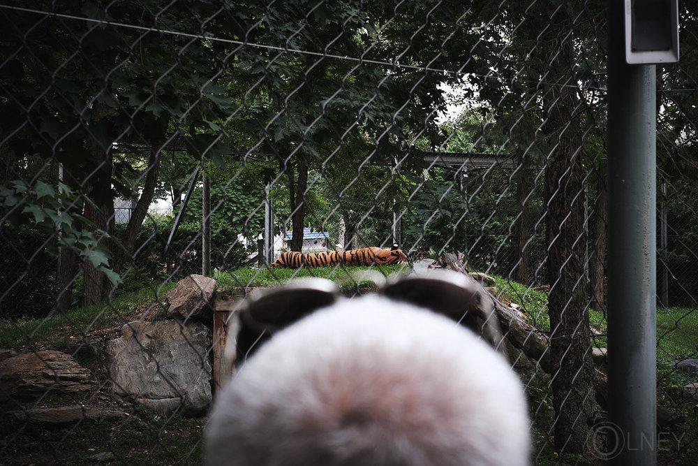 Tiger at granby zoo