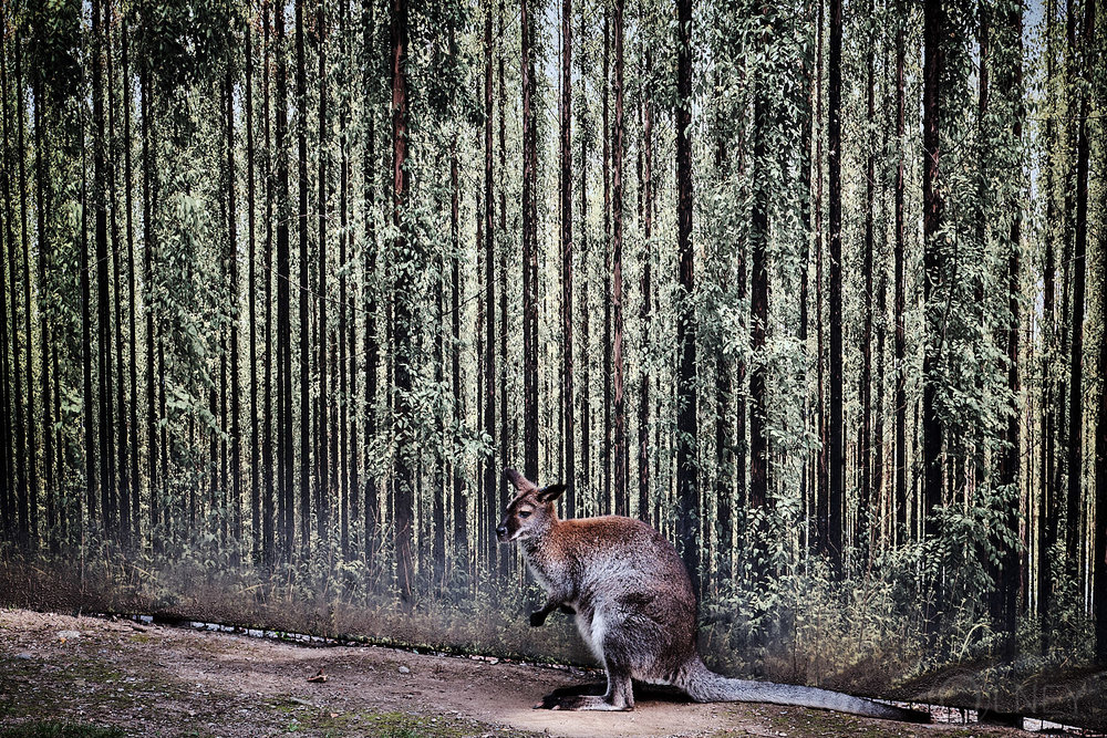 wallaby at granby zoo