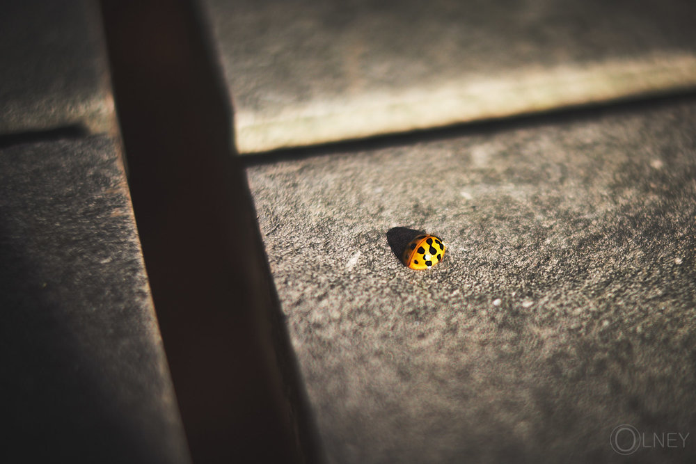 ladybug on picnic table upclose