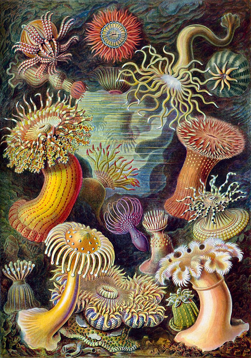 800px-Haeckel_Actiniae.jpg