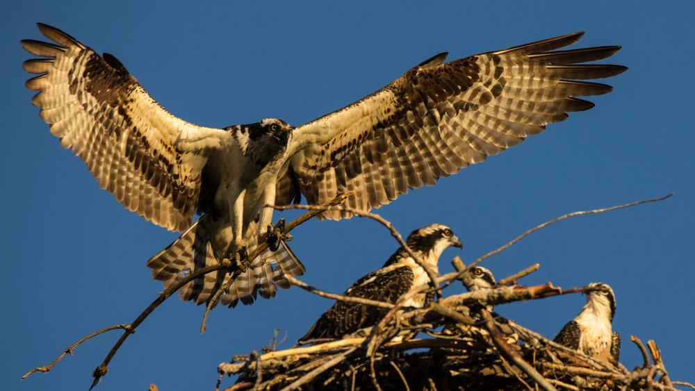 osprey full wing span.jpg