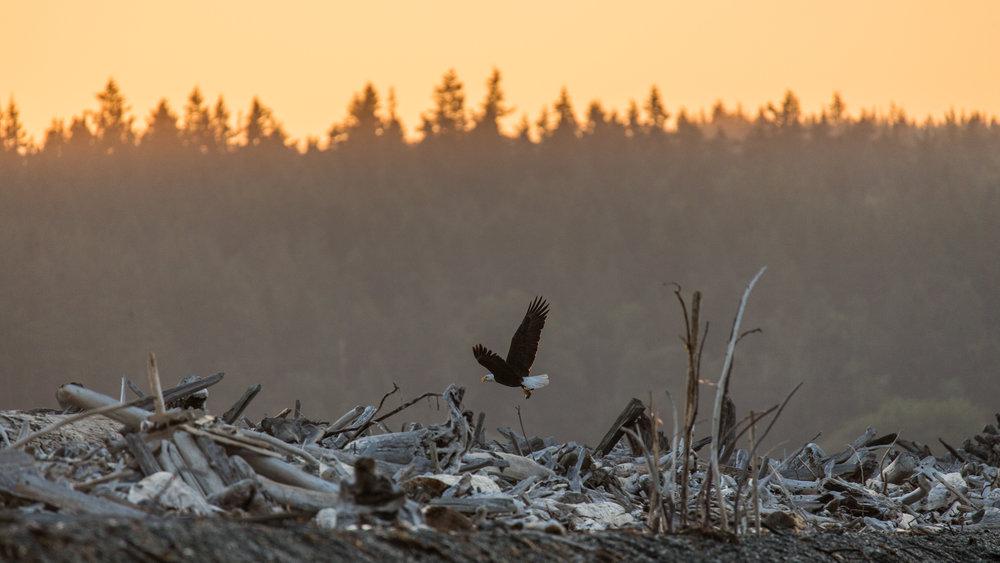 Eagle Fly Away.jpg