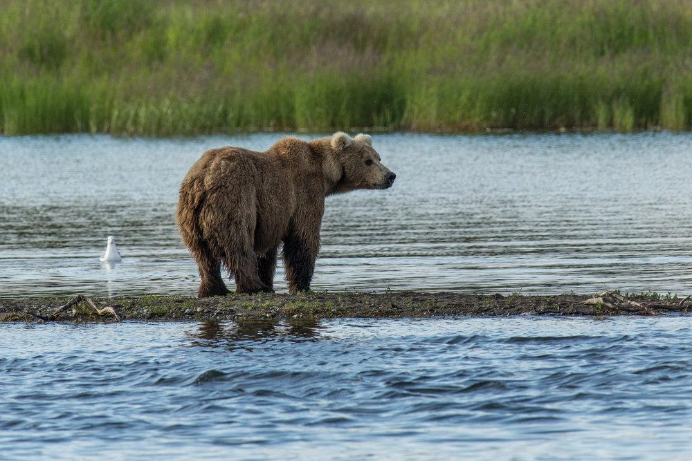 Katmai Bears-4.jpg