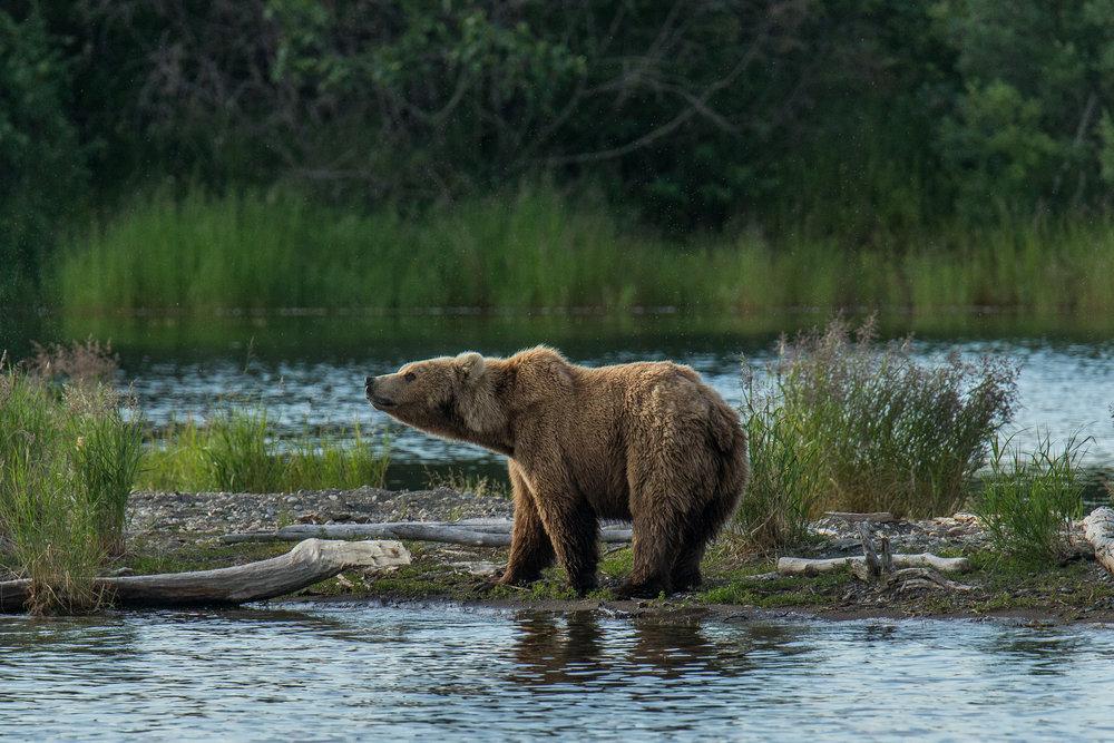 Katmai Bears-7.jpg