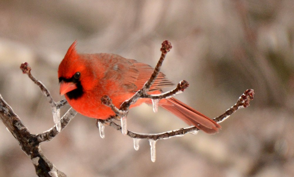 icy-cardinal-bw.jpg