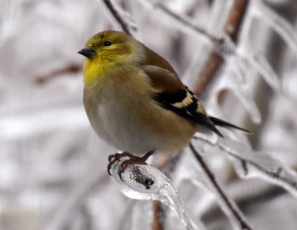 icy-goldfinch-bw.jpg