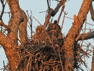 baby-owl-bw-300x228.jpg