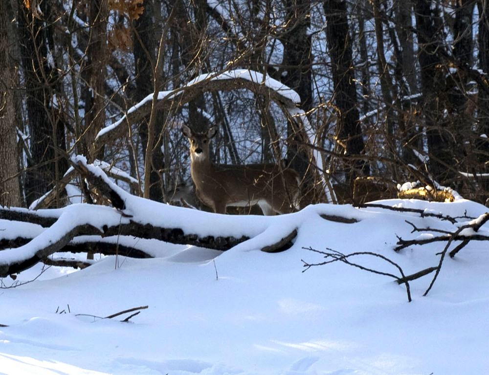 snowy-deer-1.jpg