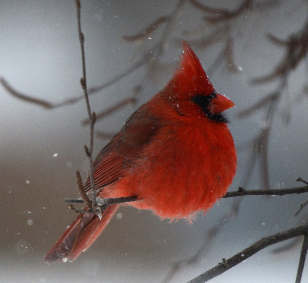 cardinal-snow-bw.jpg