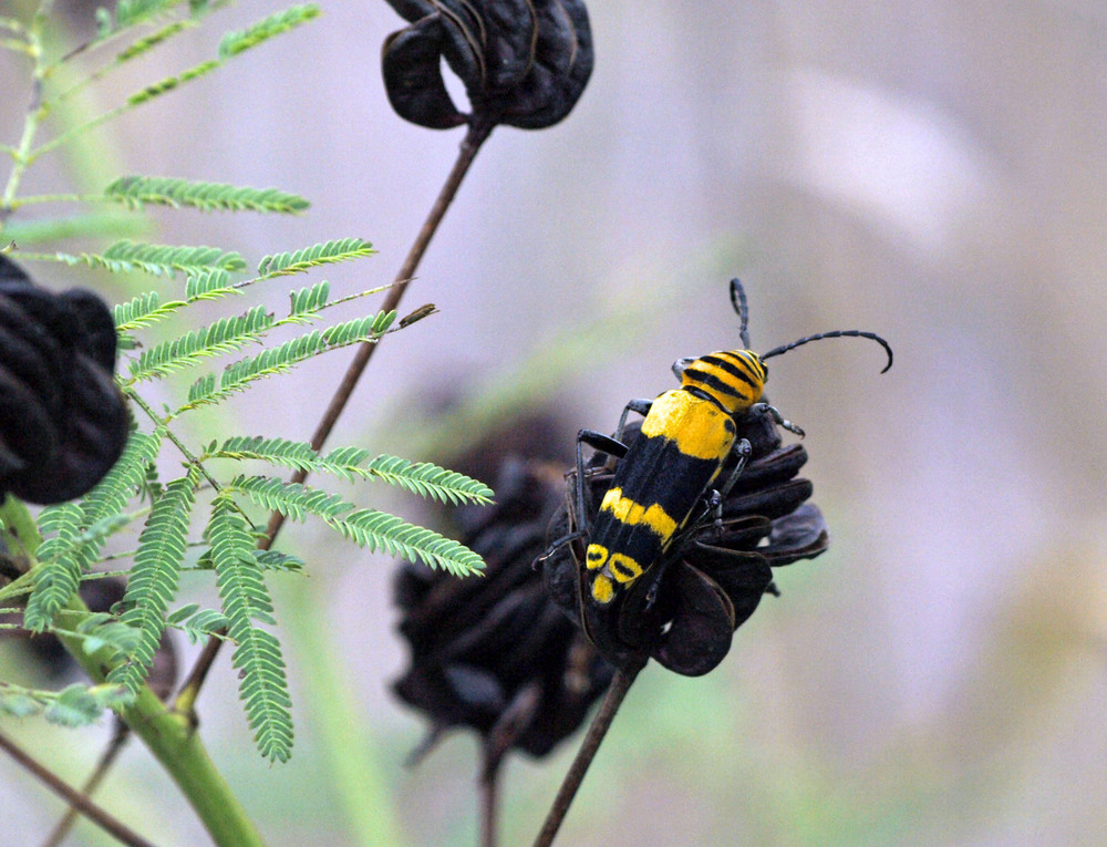 annbutts black and yello beetle.jpg