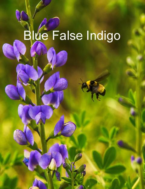 blue indigo and bee (Small).jpg