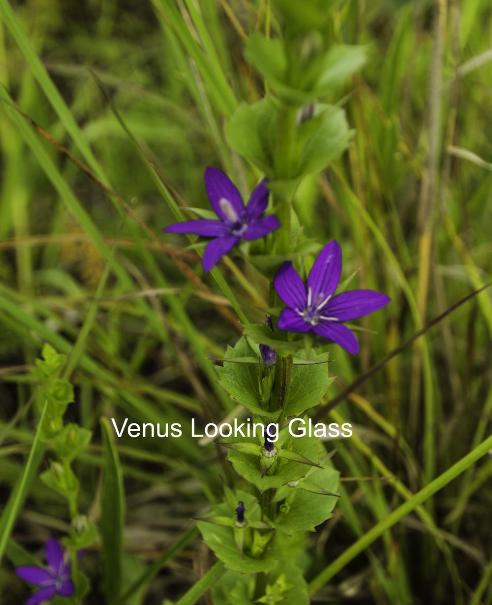 venus looking glass.jpg