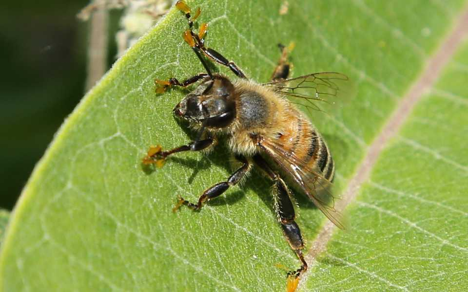 Bee with heavy pollen