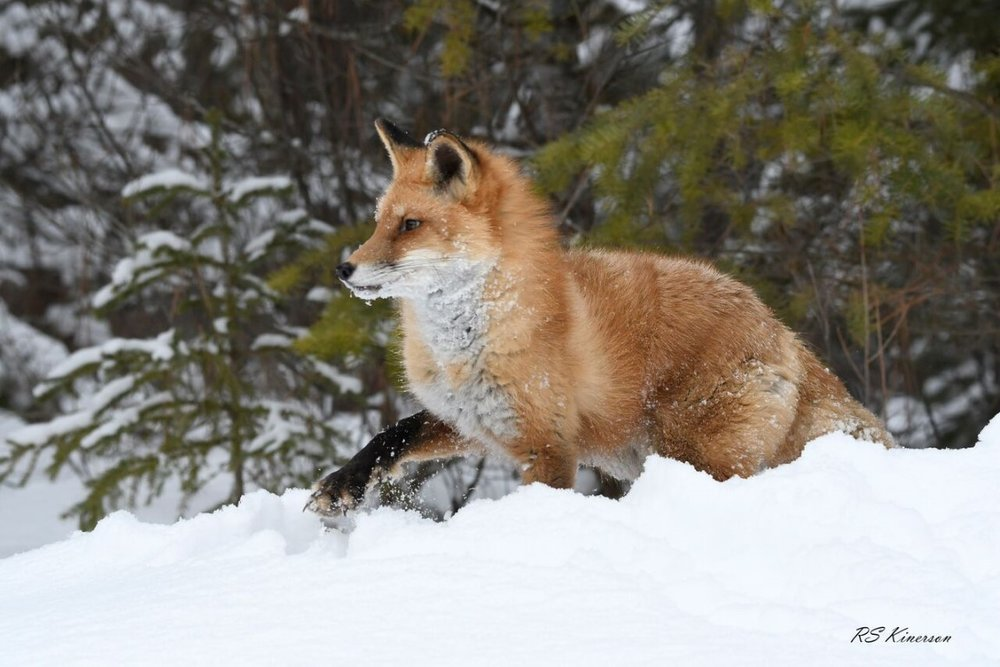 Red Fox-2400_preview rsk (Medium).jpeg