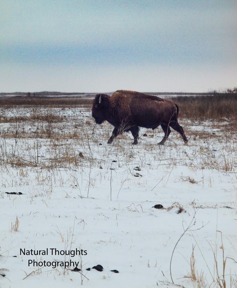 bison at psp (Medium).jpg