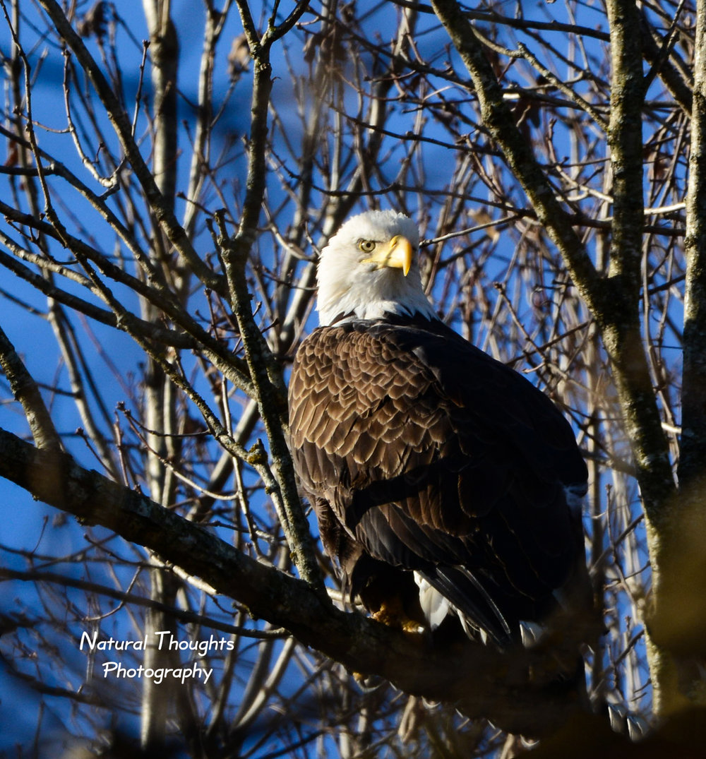 eagle in the sun.jpg