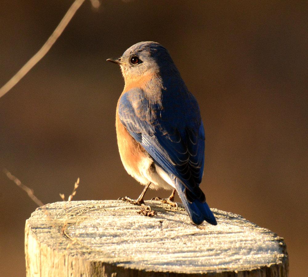 bluebird post becky w.jpg
