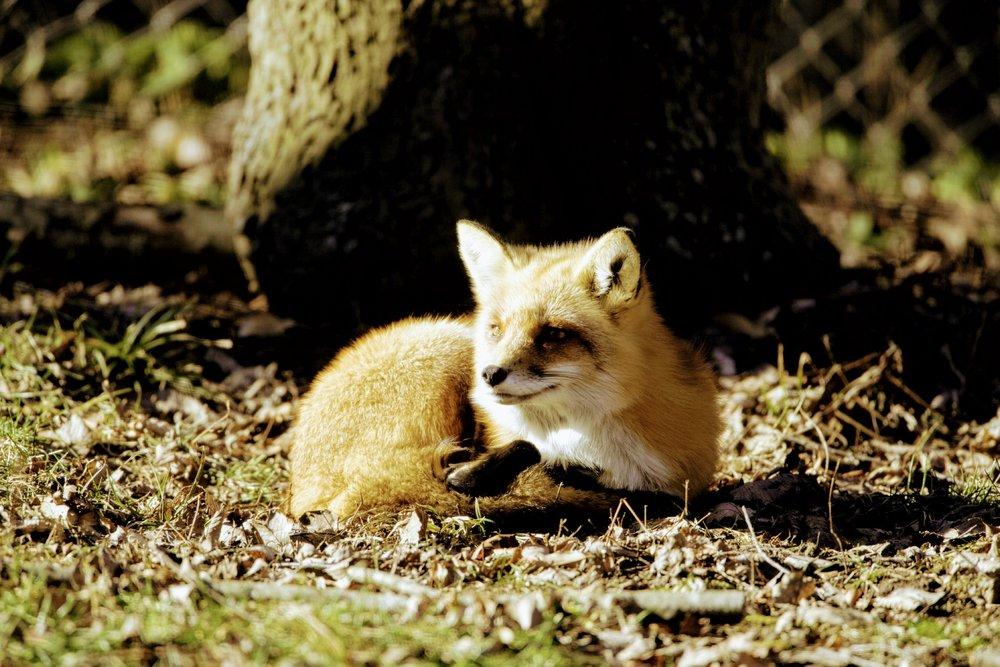 Red_Fox_0003~2.jpg