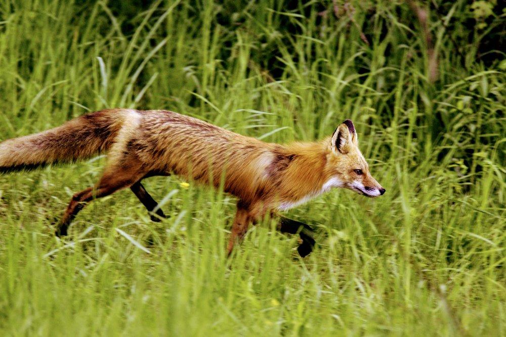 Red_Fox_0078~2.jpg