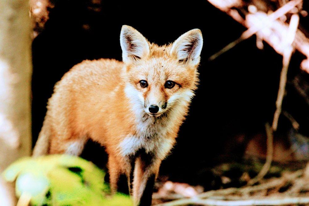 Red_Fox_0117~3.jpg