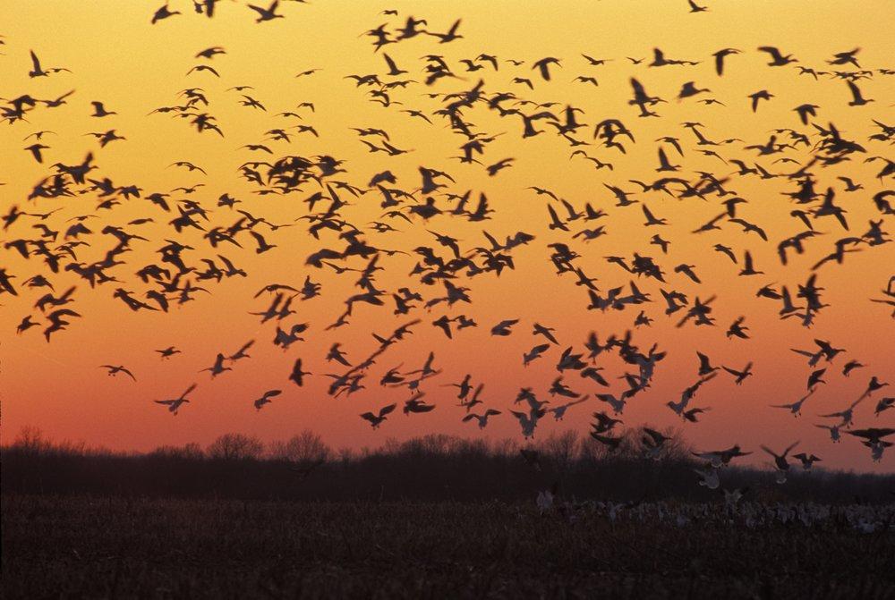 Snow geese_sunset_03.jpg