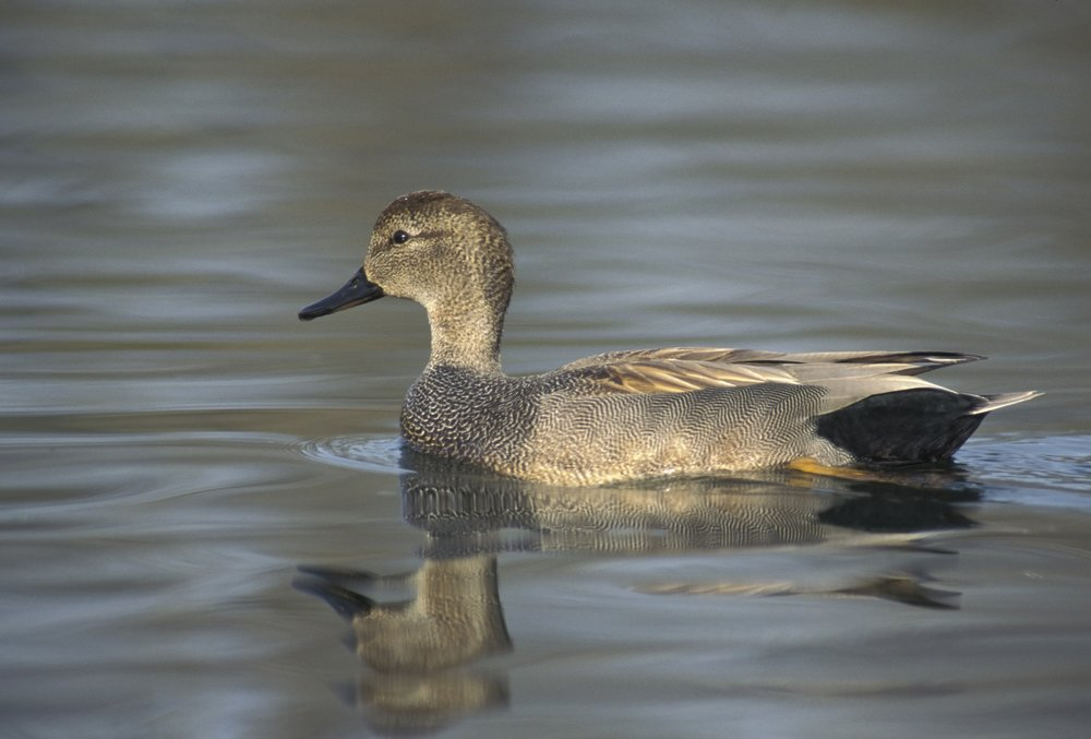 Gadwall.  The gadwall is a common and widespread dabbling duck