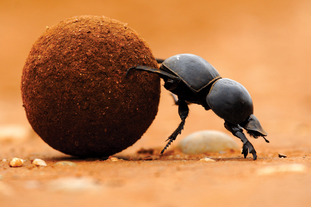 Dung Beetle rolling bits of manure.