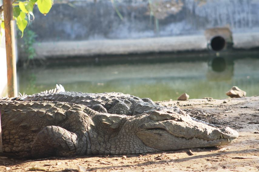 The Haleji lake in Thatta, Pakistan is home to a sizable number of crocodile population.