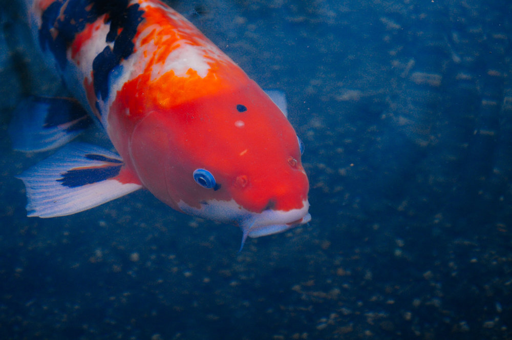 Koi fish are a tradition in japan. They have been bread for centuries. These are actually albino fish and the race is naturally gray.