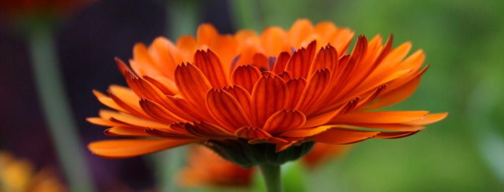 marigold01