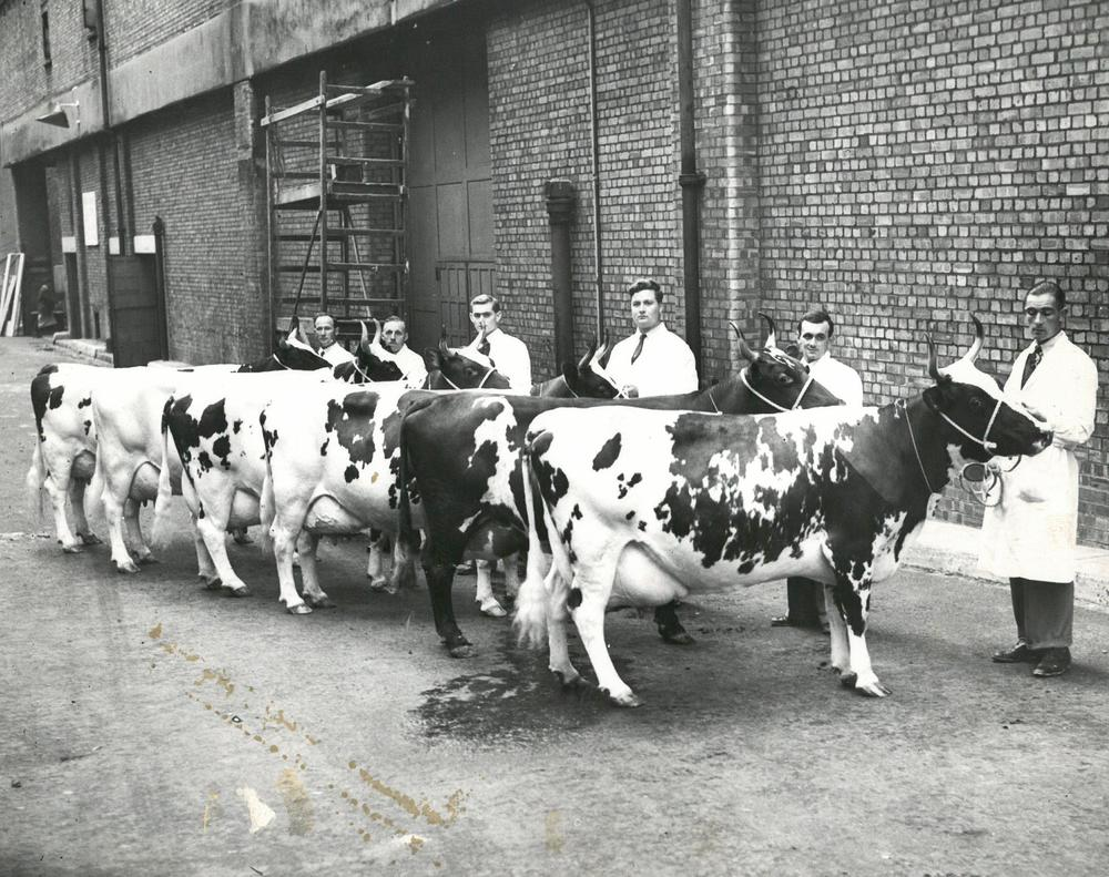 Group of Ayrshire cows 1955