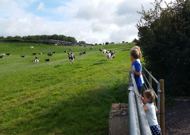 John Taylor's grandchildren look on as the Worthy cows are put to grass.