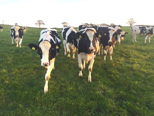 Some of the heifers at Pilsdon Dairy Farm