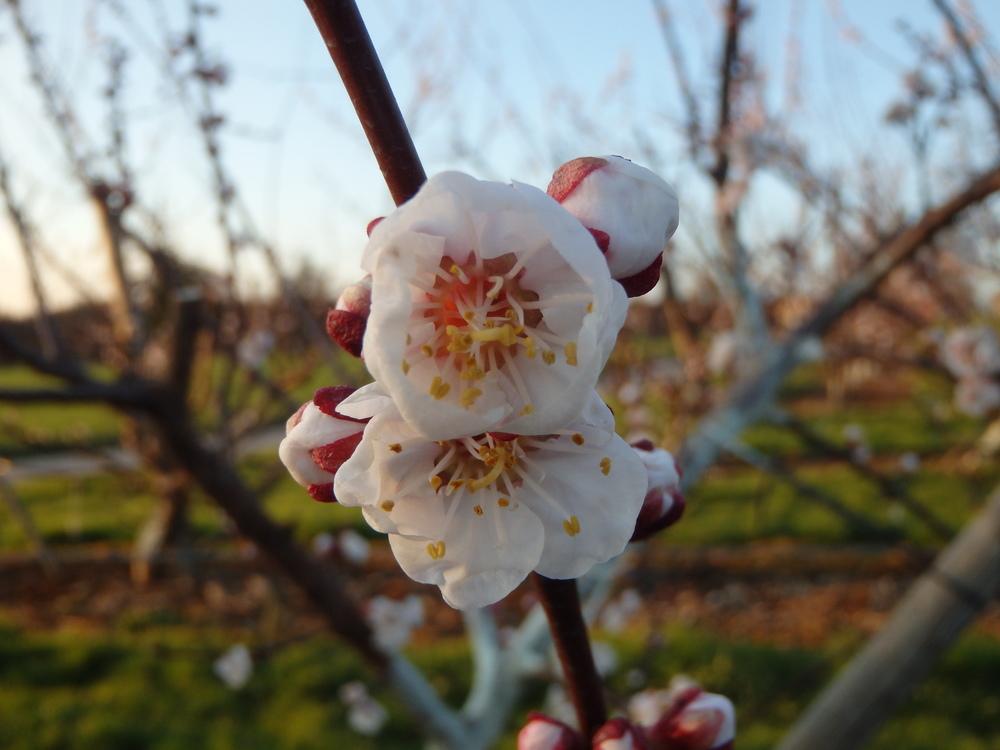 Aprikosenblüte in ihrer vollen Pracht
